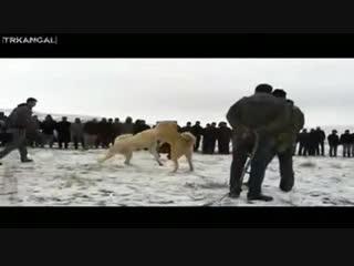 G r k n Amcas Kadir in Pa a Cihanbeyli Bozo 15 01 2012 Ko hisar 1