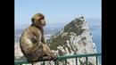 Khimki Quiz, 21.12.18. Вопрос № 21. Гибралтар - единственное место в Европе, где в условиях дикой природы живут ОНИ: это маготы, которые, по местному поверью, являются залогом принадлежности данной территории Великобритании.