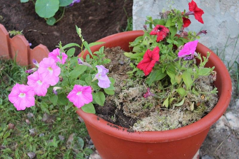 Фотоальбом «Осень - а что в саду и огороде»-Долгое цветение петунии