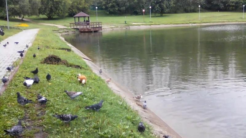Уточки на озере Мозиловское.Москва. 2Фильм.Автор Диана Разумовская.mp4