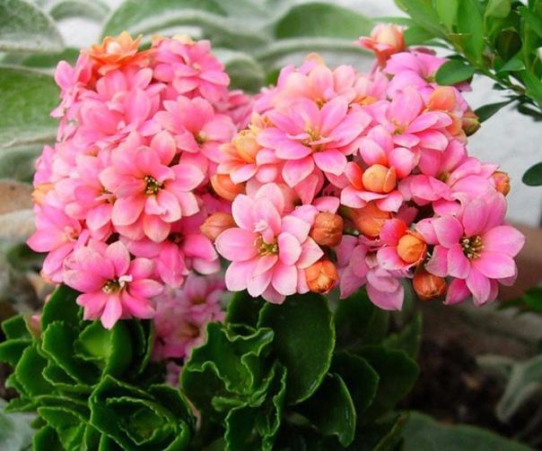 повторное цветение каланхоэ купив пышущий здоровьем и буквально усыпанный цветоносами каланхоэ, мы надеемся на то, что новое растение будет радовать нас обильным цветением из сезона в сезон. но