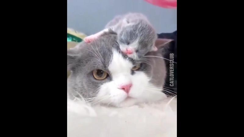 Котёнок спит у кошки на голове