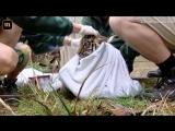 Амурские тигры пришли на медосмотр.