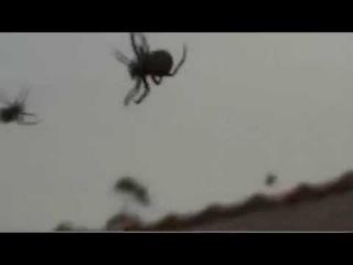 «Дождь» из пауков в бразильской деревне