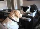 Неугомонный кот достает собаку