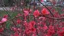 Теплый февраль 2019. Цветут - айва японская, ирисы в Лазаревском, Сочи