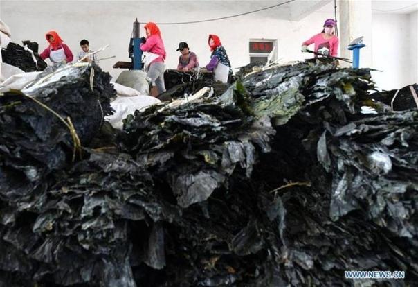 Как собирают урожай водорослей в Китае