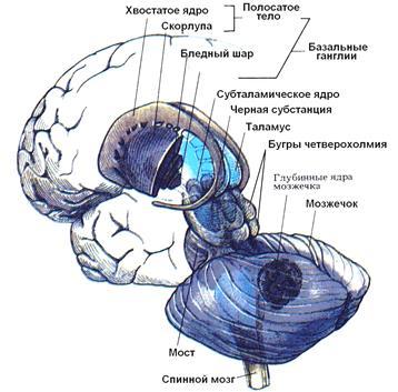 Физиология центральной нервной системы. Базальные ядра.
