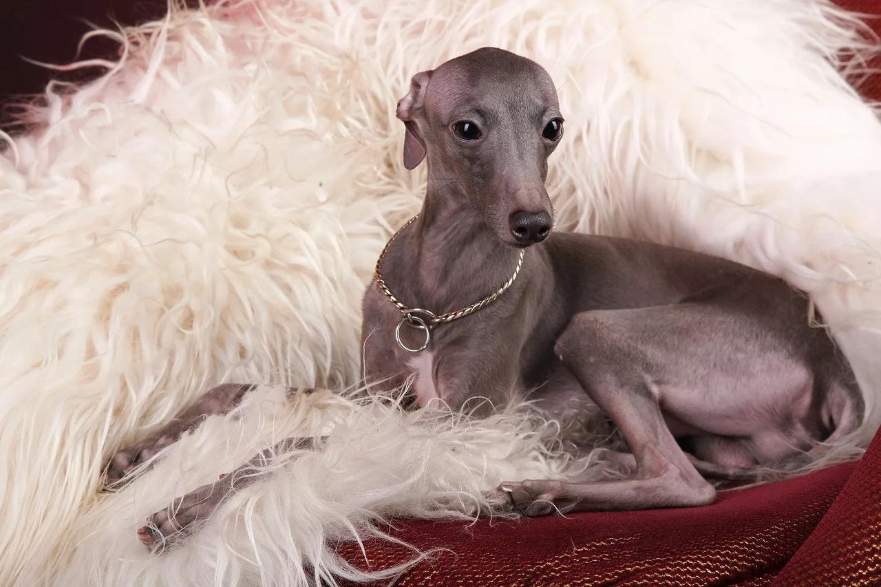 басенхауд собака фото