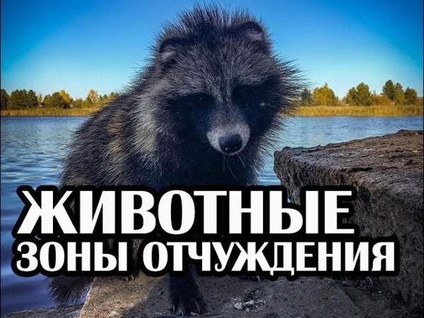 Животные Чернобыля, Волки, Лиса, Енот Осень 2018