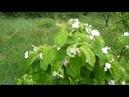 Чудесное воскрешение и цветение южной айвы в северной Белоруссии после 5 летней затянутой болезни.