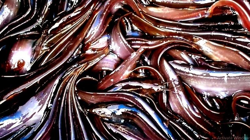 Stinging Catfish=Farm In Bangladesh