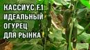 КАССИУС F1 - ИДЕАЛЬНЫЙ ОГУРЕЦ ДЛЯ РЫНКА 17-09-2018
