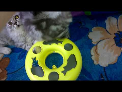 Мраморная кошка - хайленд страйт Эка 2 видео