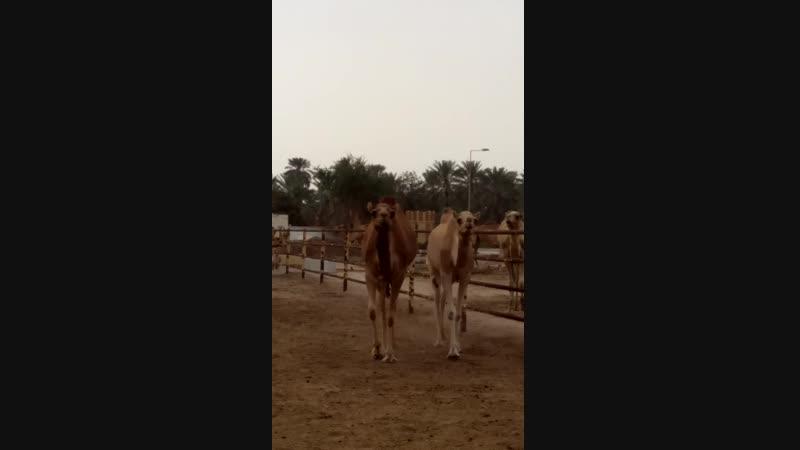 верблюды знакомиться идут