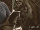 Удивленный кот и два тигра