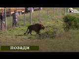 Эмоции спасенных из цирка животных, когда их первый раз выпустили на свободу.