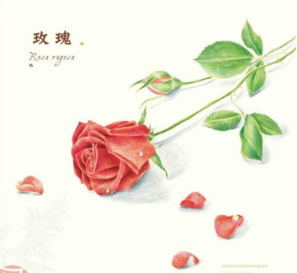 Роза цветными карандашами (5 фото) - картинка