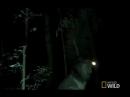 Черный кайман на ночной охоте
