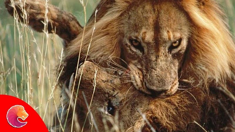 Sư Tử đực đánh nhau ác liệt giành địa bàn và bạn tình