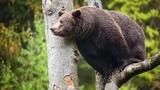 Картинка животное. Медведь, зверь, Imagine, Animale, Urs, bestie, JPEG.