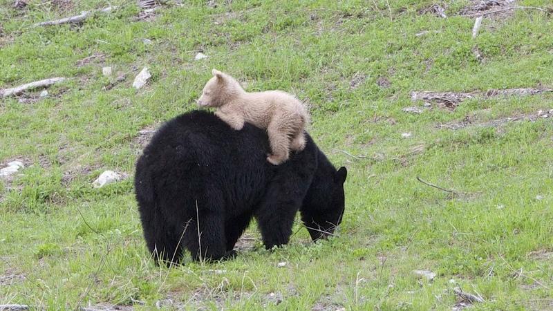 Black Bear Cub With Creamy White Coat Baffles Scientists