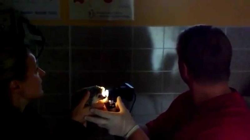 Офтальмологическое обследование африканского белобрюхого ежа