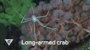 Weird and Wonderful: Long-armed crab lives on deep-sea corals