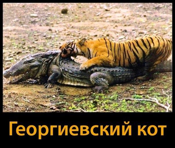 Мы не колорады мы тигры