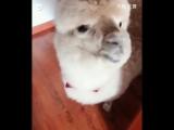 Эта альпака очень любит есть и плеваться