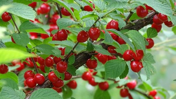 вишня войлочная вишня войлочная (cerasus tomentosa) относится к роду мелкоплодных вишен. несмотря на внешнюю схожесть плодов, вишня обыкновенная и вишня войлочная генетически очень далеки одна