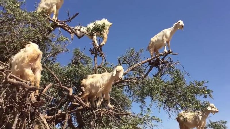 Cabras se suben a un arbol y protestan por falta de alimentacion