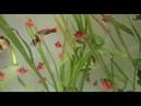 Барбус Красный Глофиш
