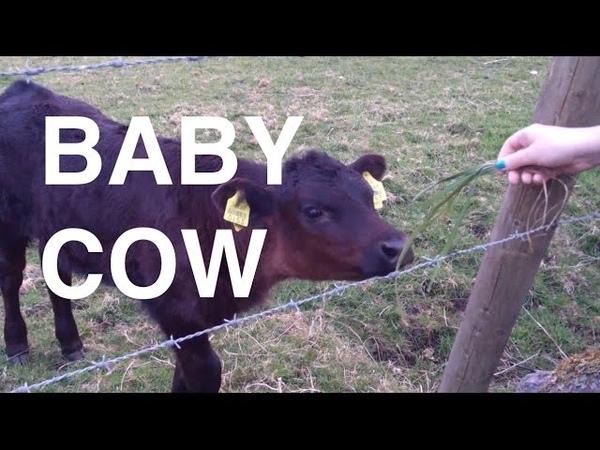 Baby Cow Viper Higgins