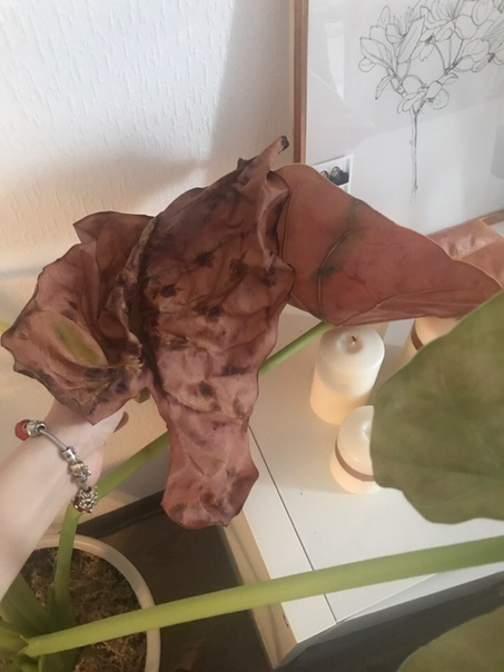 Беда, подскажите, что такое с алоказией В декабре приобрела алоказию с большими красивыми листьями но уже спустя пару недель два листа начали желтеть, потом багроветь (не сохнуть), стебли начали