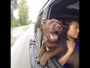 Шоко-лабры: постарайтесь не смеяться ))