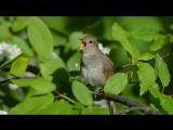 Соловьиная песня Nightingale Singing