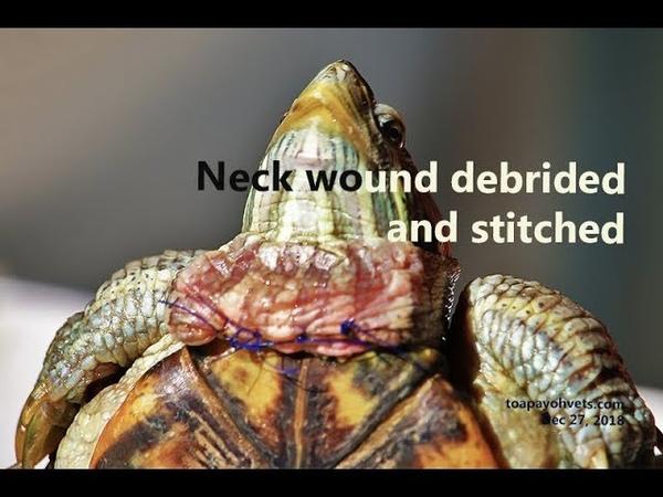 Вонючая рана в области шеи у красноухой черепахи. Часть 3 A red-eared slider got bitten on his neck area - fishy smelly wound. Part 3