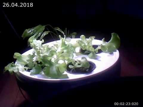 [Salad] hydroponic experiment 2