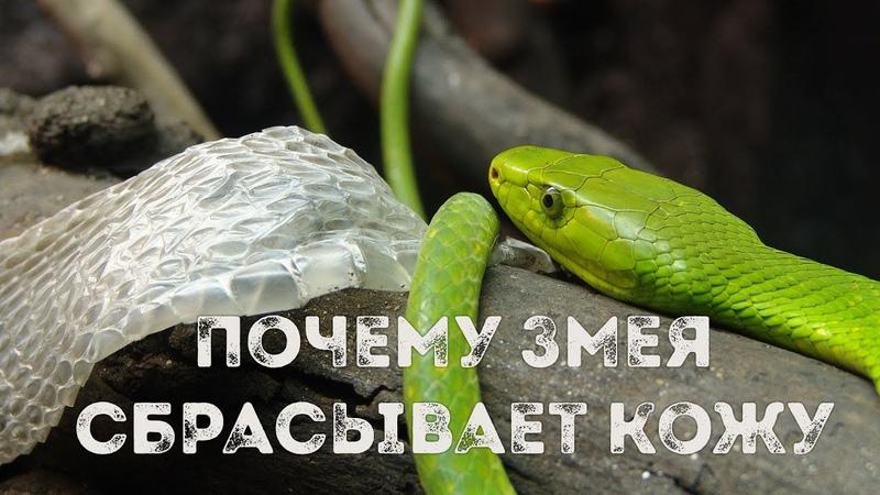 Почему Змеи Сбрасывают Кожу