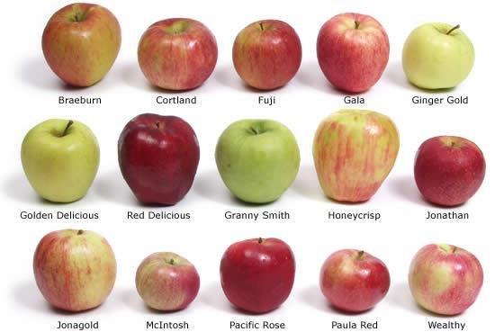 Ценный сорт яблок 5 букв