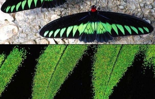 В крыльях бабочек найдена наноструктура, чрезвычайно похожая на знаменитый Vantablac