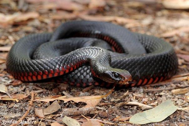 Краснобрюхая чёрная змея (Pseudechis porphyriacus)