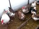 Мускусные утки индоутки. Траты в месяц на содержание зимой в теплице.