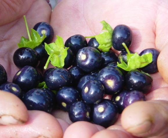САРАХА ОВОЩНАЯ Сараха овощная или сараха съедобная (Saracha edulis) - однолетнее урожайное растение семейства пасленовых родом из Южной Америки. У полулежащих раскидистых кустов ветви длиной