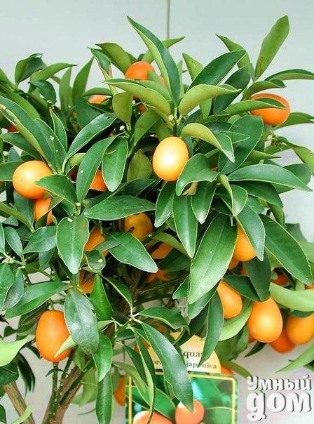 Как вырастить кумкват? Кумкват – экзотический цитрусовый фрукт по размерам меньше мандарины, который можно вырастить в домашних условиях! Как это сделать? Кумкват едят целиком с кожурой, в некоторых случаях середина бывает кисловатой. Фрукт используют для приготовления соусов к запеченным блюдам из рыбы и мяса, из него варят джемы, добавляют в салаты. Кумкват, как и все цитрусовые, можно размножить семенами, черенками, отводками и прививкой. Семена кумквата высаживают в горшок со смесью…