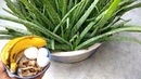 Fertilizer I Used to Aloe vera to Grow Faster - Natural fertilizer