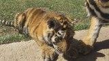 тигрята Фриды. Парк львов Тайган