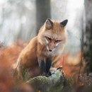 Если у тебя уже есть подборочка красивой лисы, можешь пролистать дальше.