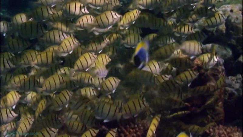 BBC Голубая планета 6 Коралловые моря Познавательный природа животные 2001